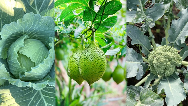 Đã mắt khu vườn 700m2 đủ loại rau củ quả sạch của gia đình ở Đắk Lắk - 2