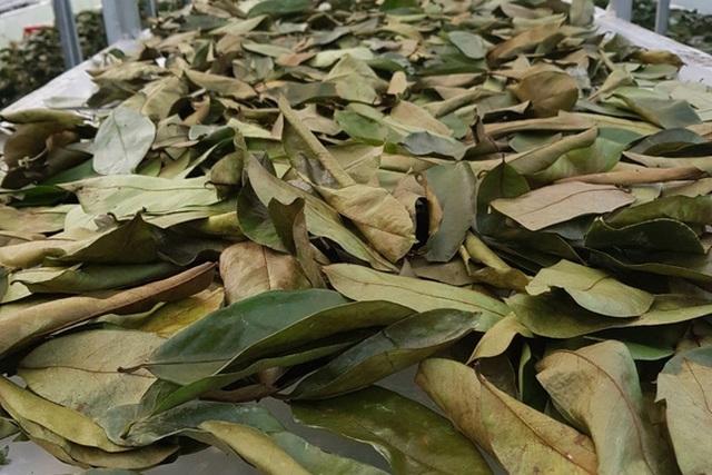Đặc sản lạ Sóc Trăng: Loại trà không làm từ cây chè, giá 1 triệu đồng/kg - 5