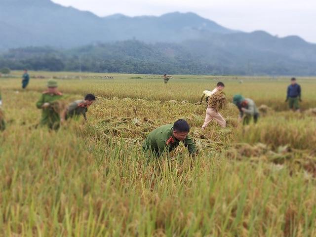 Sức trẻ giúp dân gặt lúa để chạy lũ - 1