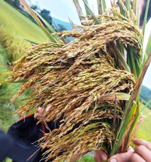 Sức trẻ giúp dân gặt lúa để chạy lũ - 2