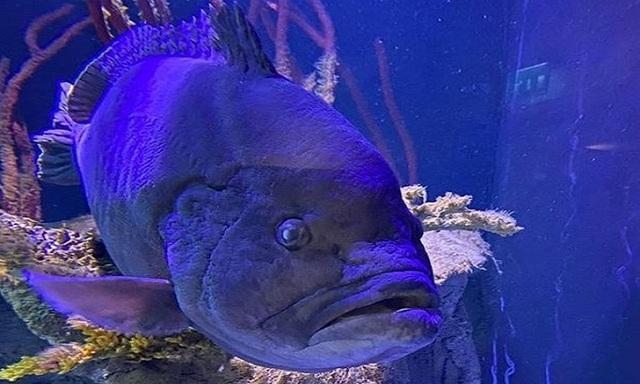 Cá mú trầm cảm sau khi chén sạch những con cá khác trong bể - 1