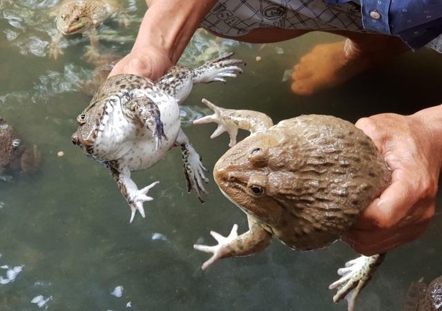"""Kiếm thu nhập """"khủng"""" nhờ làm nghề nuôi ếch Thái Lan - 1"""