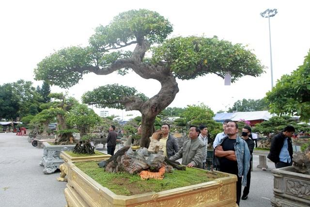 Khế cổ dáng Thiên Long - siêu cây cực khủng khiến dân chơi mê mệt - 1