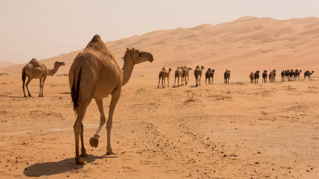 Tác dụng thực sự của bướu trên lưng lạc đà là gì?