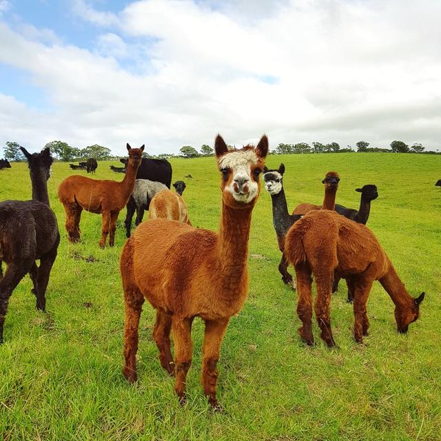 Cô gái Việt theo chồng sang Úc làm nông trại 200 hecta trồng rau, nuôi bò - 2