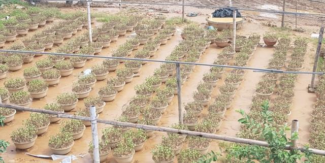 Quảng Trị: Người trồng hoa trắng tay sau mưa lũ! - 1