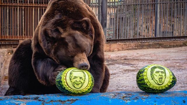 Bầu cử Mỹ 2020: Hổ, gấu dự đoán ông Biden đắc cử tổng thống - 1