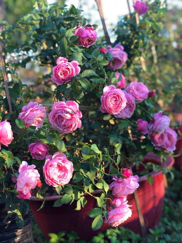 Cậu bé bóc mít thuê năm nào giờ là ông chủ vườn hồng đẹp như cổ tích - 7