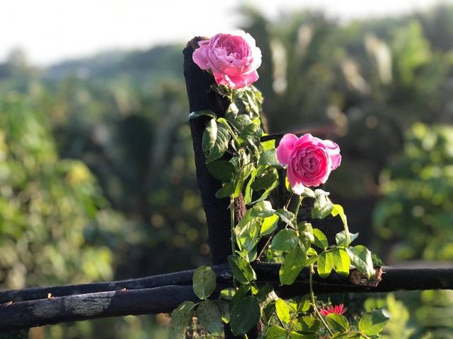 Khu vườn 2.000m2 với hơn 100 loại hoa hồng đẹp như cổ tích của 9X Đồng Nai - 10