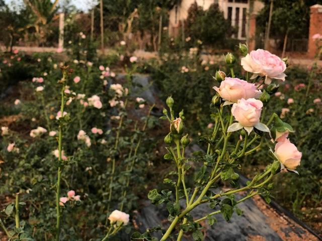 Khu vườn 2.000m2 với hơn 100 loại hoa hồng đẹp như cổ tích của 9X Đồng Nai - 8