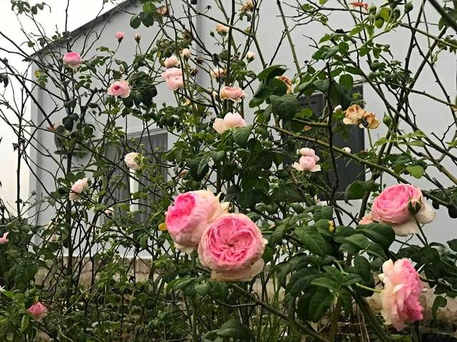 Khu vườn 2.000m2 với hơn 100 loại hoa hồng đẹp như cổ tích của 9X Đồng Nai - 4