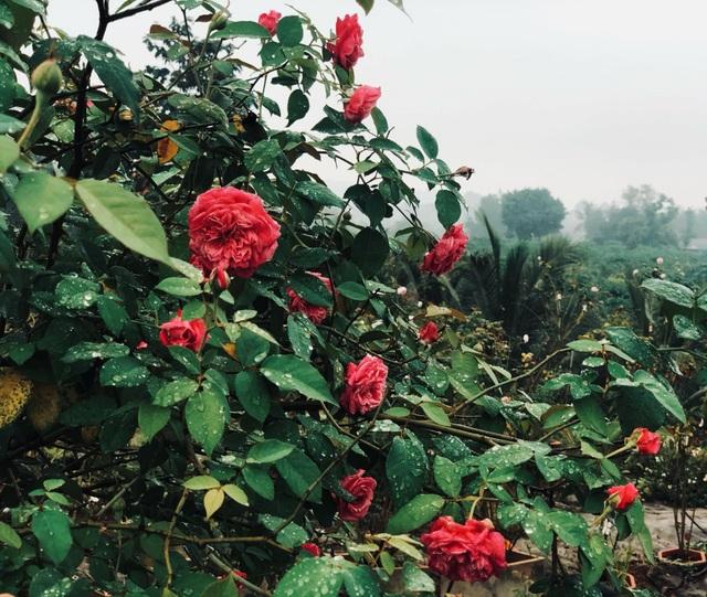 Khu vườn 2.000m2 với hơn 100 loại hoa hồng đẹp như cổ tích của 9X Đồng Nai - 5