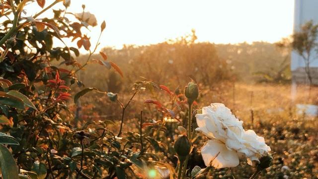 Khu vườn 2.000m2 với hơn 100 loại hoa hồng đẹp như cổ tích của 9X Đồng Nai - 7