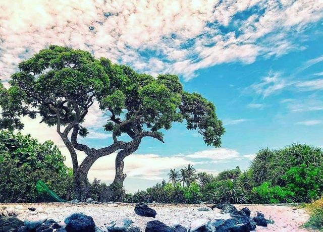 """Cây phong ba """"cô đơn"""" nổi tiếng ở đảo Lý Sơn bị quật gãy sau cơn bão - 1"""