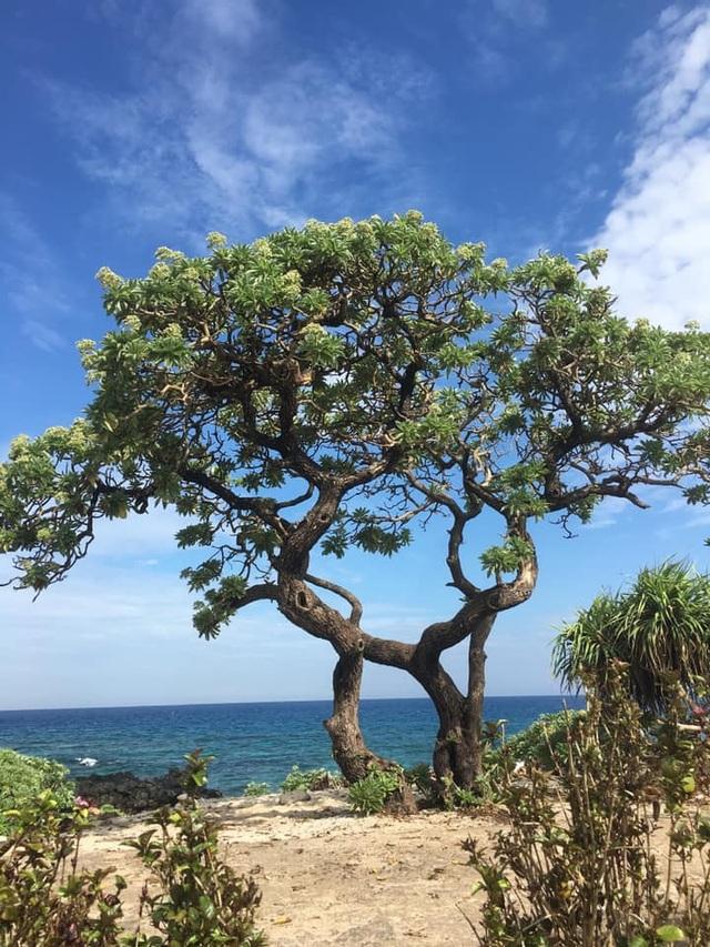 """Cây phong ba """"cô đơn"""" nổi tiếng ở đảo Lý Sơn bị quật gãy sau cơn bão - 7"""