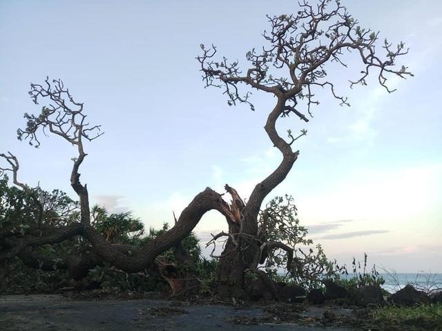 """Cây phong ba """"cô đơn"""" nổi tiếng ở đảo Lý Sơn bị quật gãy sau cơn bão - 2"""