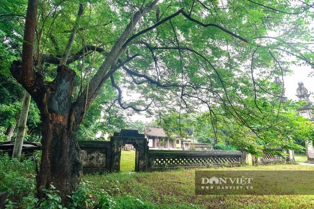 Chiêm ngưỡng cây sưa trăm tuổi ở Hà Nội, trả 60 tỷ đồng không bán - 1