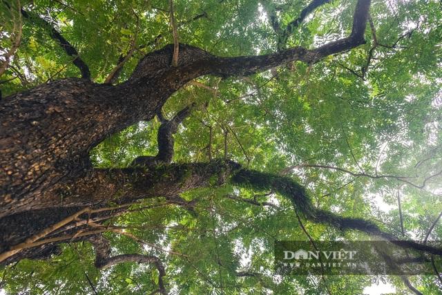 Chiêm ngưỡng cây sưa trăm tuổi ở Hà Nội, trả 60 tỷ đồng không bán - 5