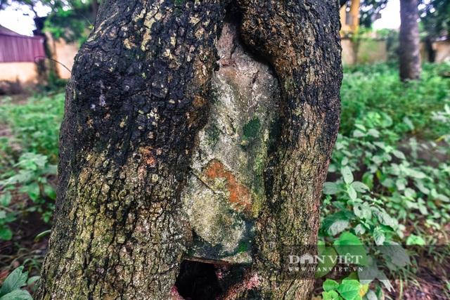 Chiêm ngưỡng cây sưa trăm tuổi ở Hà Nội, trả 60 tỷ đồng không bán - 6