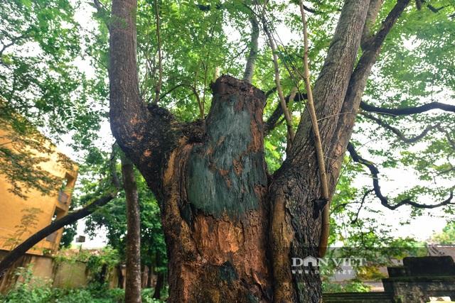 Chiêm ngưỡng cây sưa trăm tuổi ở Hà Nội, trả 60 tỷ đồng không bán - 7