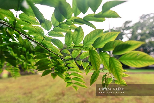 Chiêm ngưỡng cây sưa trăm tuổi ở Hà Nội, trả 60 tỷ đồng không bán - 9