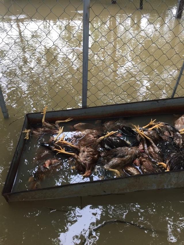 Đàn gà cả vạn con chết trong biển nước, dân trắng tay sau lũ - 2