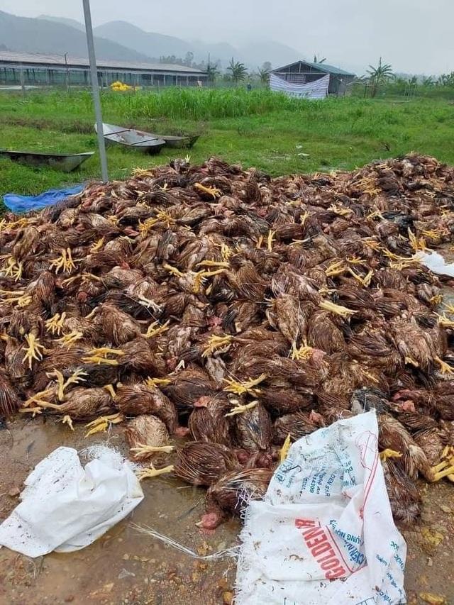 Đàn gà cả vạn con chết trong biển nước, dân trắng tay sau lũ - 6