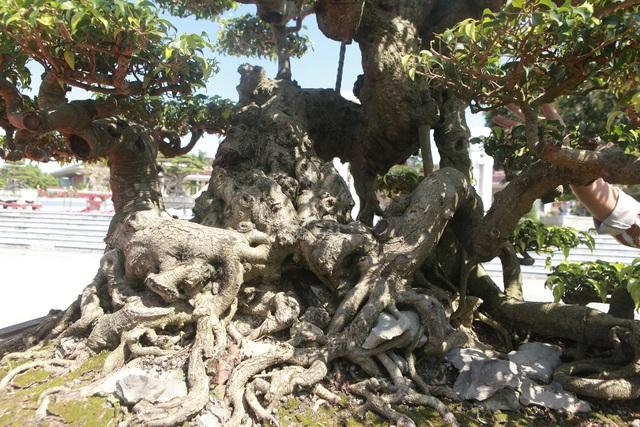 """""""Siêu cây"""" của nông dân Thái Bình được trả 10 tỷ đồng vẫn lắc đầu không bán - 5"""