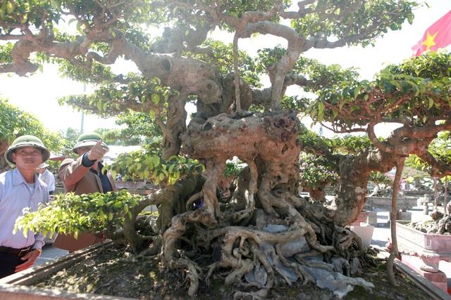 """""""Siêu cây"""" của nông dân Thái Bình được trả 10 tỷ đồng vẫn lắc đầu không bán - 6"""