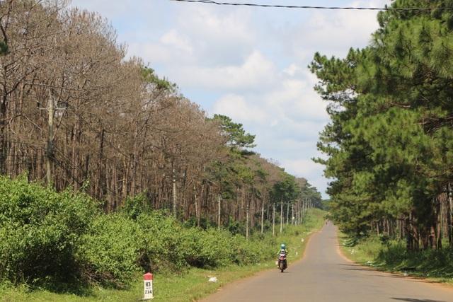 Rừng chết trắng dọc quốc lộ: Có cán bộ thuê người cắt thông trái phép! - 2
