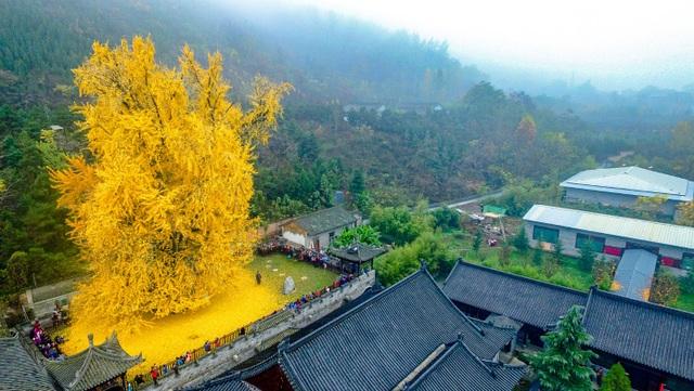Cổ thụ hơn 1.400 năm nhuộm vàng rực sân chùa, thu hút 70.000 khách/ngày - 2