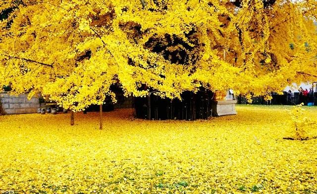 Cổ thụ hơn 1.400 năm nhuộm vàng rực sân chùa, thu hút 70.000 khách/ngày - 3