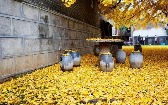 Cổ thụ hơn 1.400 năm nhuộm vàng rực sân chùa, thu hút 70.000 khách/ngày - 4