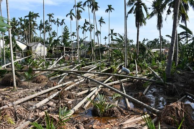 """Quảng Ngãi:  Người làm nghề trồng cau """"khóc ròng sau bão lớn - 1"""
