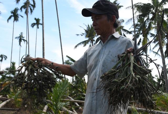 """Quảng Ngãi:  Người làm nghề trồng cau """"khóc ròng sau bão lớn - 2"""