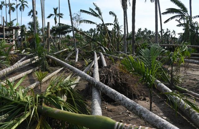 """Quảng Ngãi:  Người làm nghề trồng cau """"khóc ròng sau bão lớn - 3"""