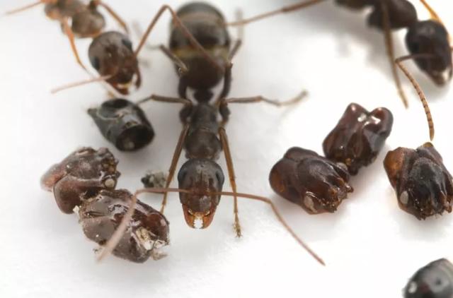 """Loài kiến kỳ lạ dùng sọ con mồi để """"trang trí"""" tổ - 1"""