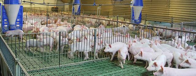 MEATDeli áp dụng tiêu chuẩn quốc tế trong chăn nuôi heo thịt - 1