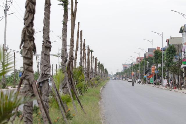 """Vụ cây xanh """"đột tử"""" ở Thanh Oai: Tức tốc nhổ bỏ, trồng thay thế cây mới - 1"""