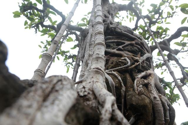 """Mãn nhãn cây đa dáng làng có giá 2 tỷ đồng """"độc nhất vô nhị"""" ở Hà Nội - 4"""