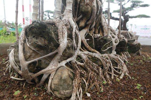 """Mãn nhãn cây đa dáng làng có giá 2 tỷ đồng """"độc nhất vô nhị"""" ở Hà Nội - 9"""