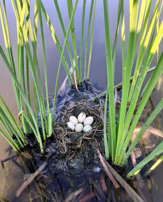 Trứng loài chim hoang dã giống như vịt, 50 ngàn đồng/quả vẫn không có bán - 1