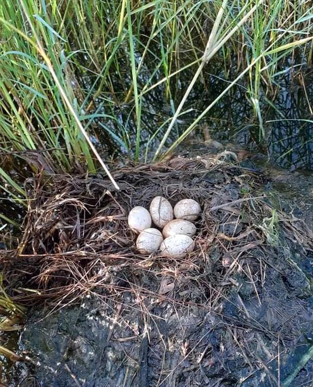 Trứng loài chim hoang dã giống như vịt, 50 ngàn đồng/quả vẫn không có bán - 2