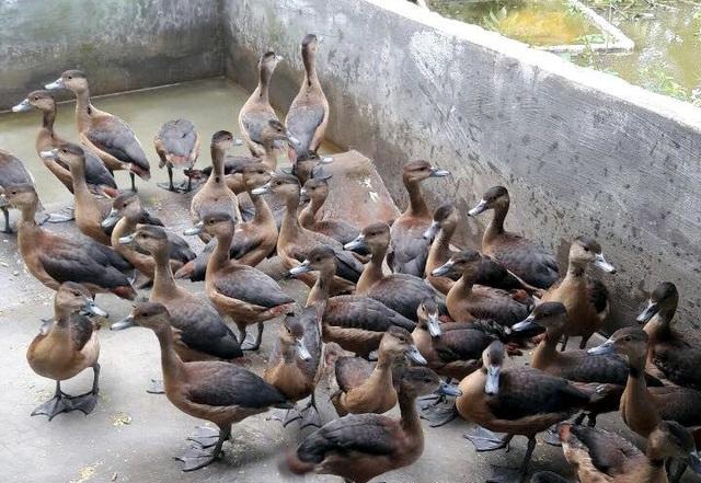Trứng loài chim hoang dã giống như vịt, 50 ngàn đồng/quả vẫn không có bán - 3