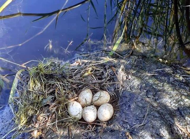 Trứng loài chim hoang dã giống như vịt, 50 ngàn đồng/quả vẫn không có bán - 5