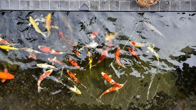 Đại gia Hà Nội chi 5 tỷ đồng xây bể cá Koi trong căn biệt thự giữa phố cổ - 5
