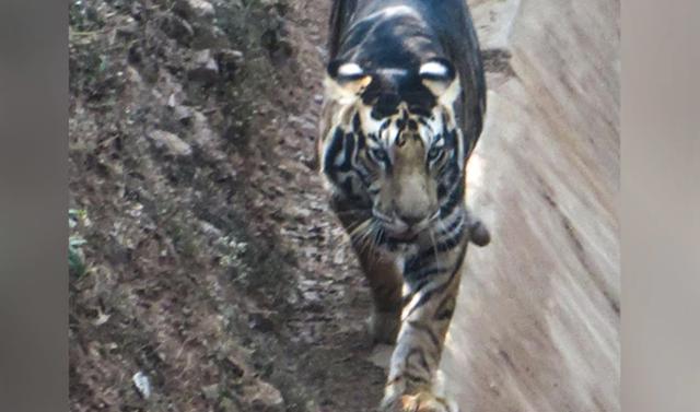 Hổ đen cực hiếm được phát hiện ở Ấn Độ - 1