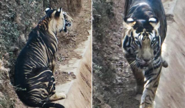 Hổ đen cực hiếm được phát hiện ở Ấn Độ - 2