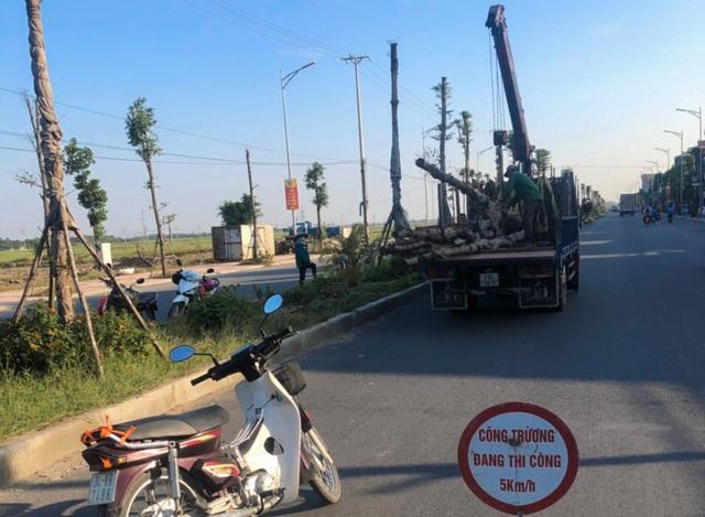 """Vụ cây xanh """"đột tử"""" ở Thanh Oai: Tức tốc nhổ bỏ, trồng thay thế cây mới - 4"""