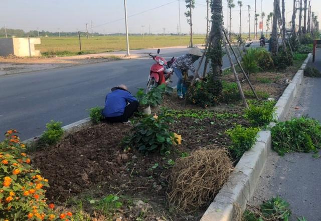 """Vụ cây xanh """"đột tử"""" ở Thanh Oai: Tức tốc nhổ bỏ, trồng thay thế cây mới - 3"""